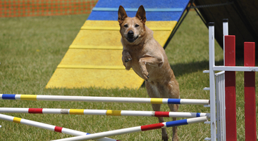 Agility Aus Cattle Dog
