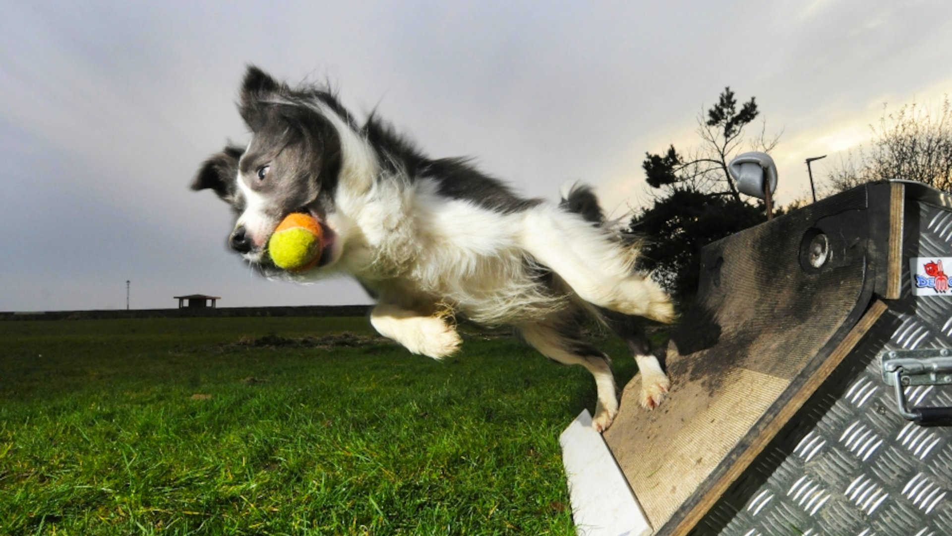 Flyball Athlete