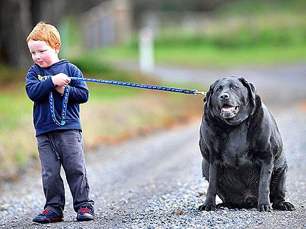 Old fat black dog